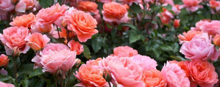 Zahlreiche rosa Rosenblüten an einem Rosenstrauch