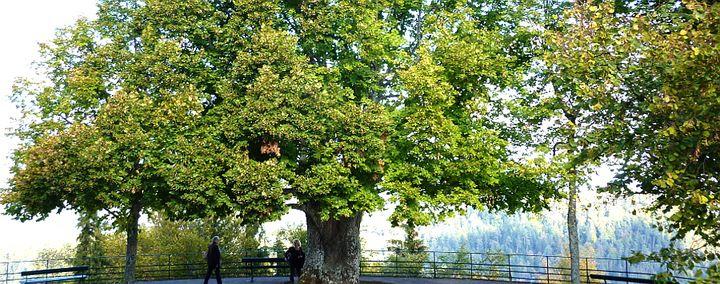 Alter großer Baum auf einem Plateau