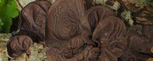An einem Holzstück wachsen schwarzbraune flache Fruchtkörper eines Pilzes