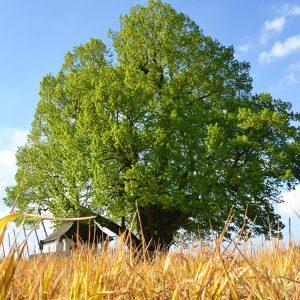 Große Linde in Geisenhausen im frischen Frühlingsgrün