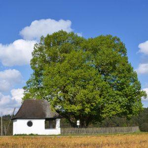 An einer Straße steht eine alter großer Baum und eine kleine Kapelle