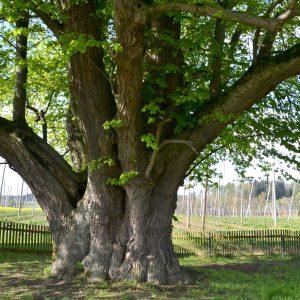 Dicker Baumstamm aus dem viele starke Äste gehen