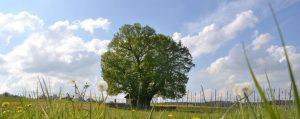 Große Linde auf einer Frühlingswiese