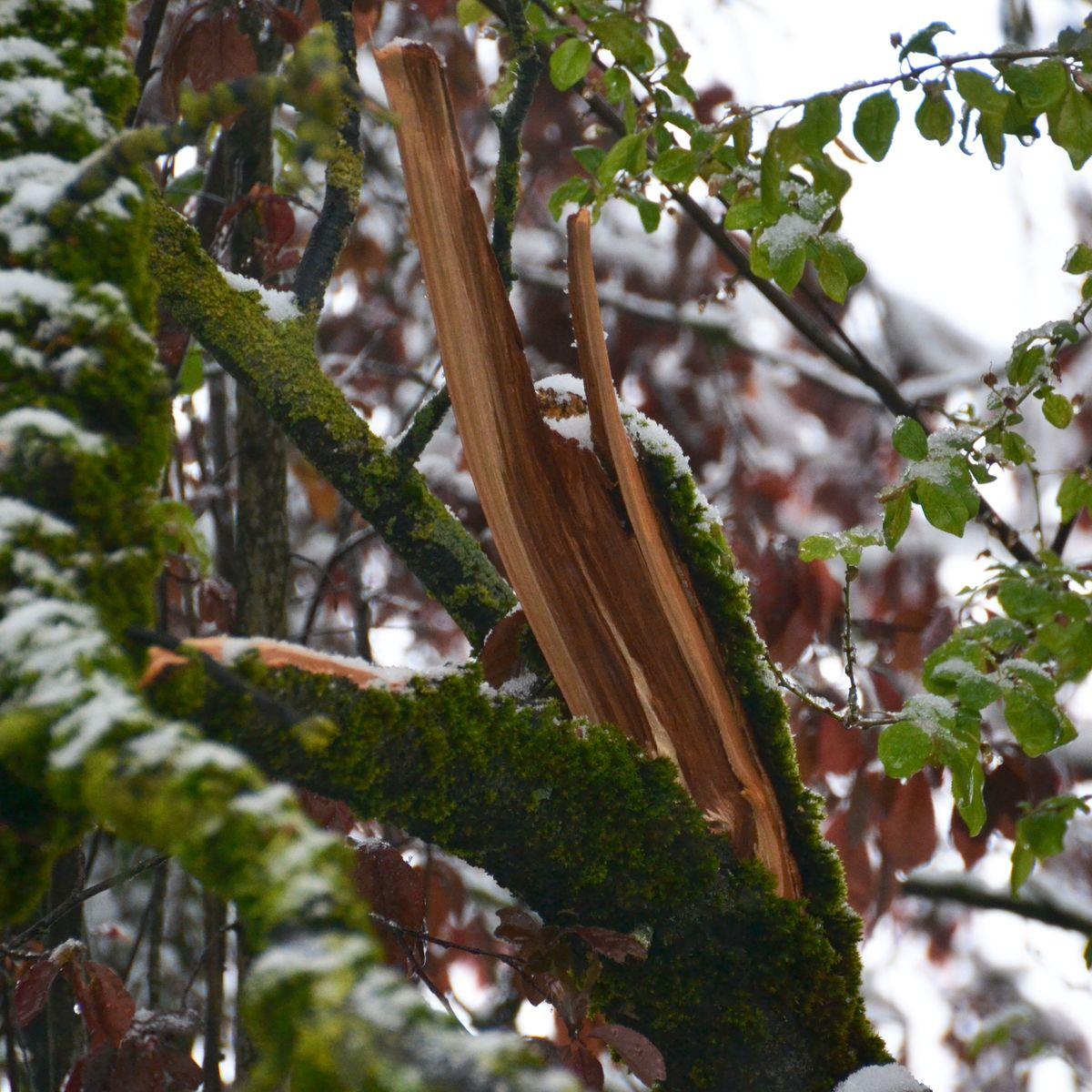 Schneebruch im Baum