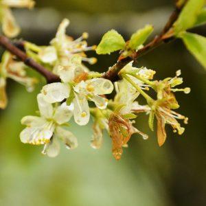 Blüten im Regen mit teils braunen Blütenblättern