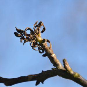 Junger Ast mit braunen Blättern durch Spätfrost