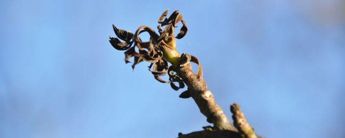 Braune eingerollte Blätter am Ast