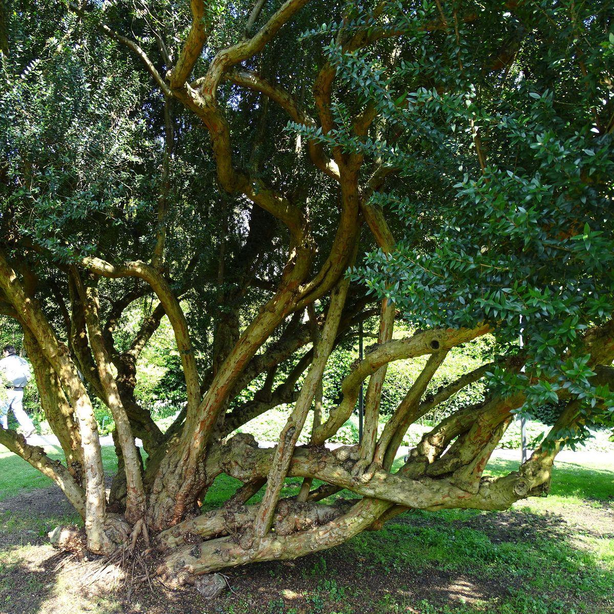 Champion Tree 2017: Brautmyrte Weinheim
