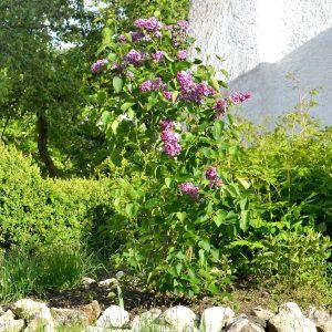 Kleiner Fliederstrauch mit lila Blüten