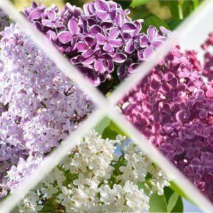 Verschiedenfarbige Flieder-Blütendolden