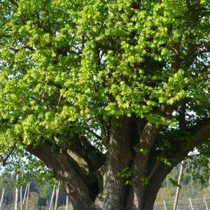 Dicke Äste wachsen aus dem Stamm eines Baumes