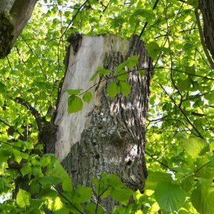 In der Krone abgesägter Stamm eines Baumes