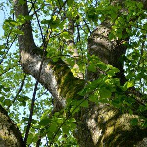 Dicker Ast mit viel Moos eines alten Baumes