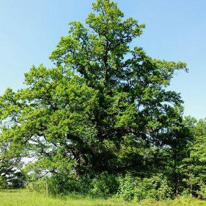 grün belaubte alte Eiche mit ausladender Krone vor blauem Himmel