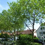 Platanen mit jungen grünen Blättern in einer Allee