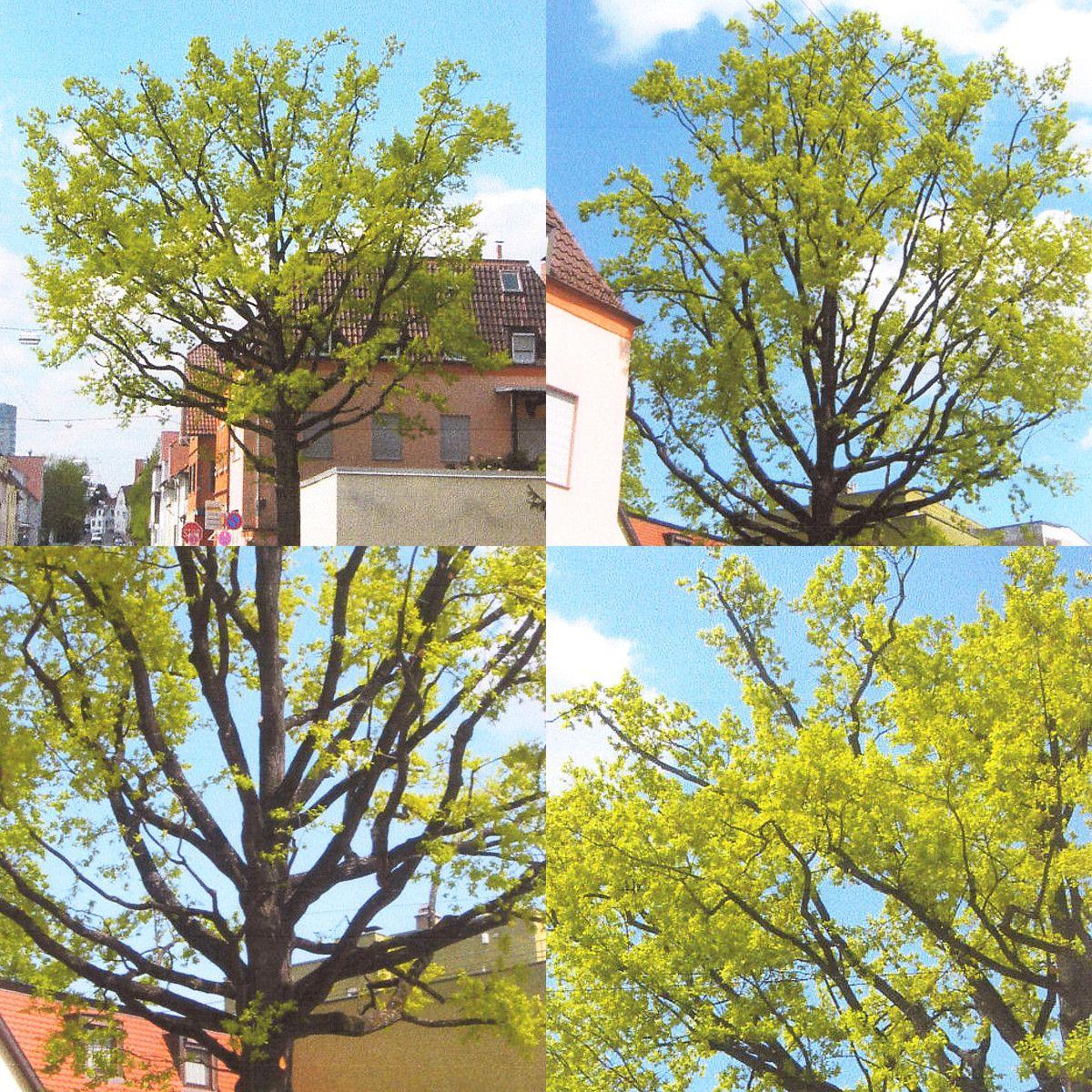 Goldener Schnitt 2017: Pressel-Baumpflege und GaLaBau