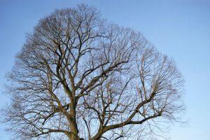 Baumkrone ohne Blätter