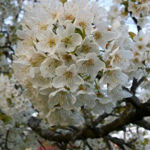 Weiße Kirschblüten an einem Ast