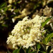 Weiße Doldenblüte an einem Strauch