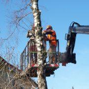 Waldarbeiter auf einer Hubbühne sägen einen Baum ab