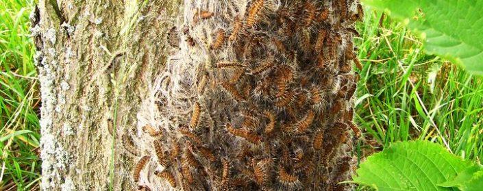 Stammfuß mit unzählingen haarigen Raupen