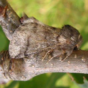Grau-Brauner Falter auf einem Ast