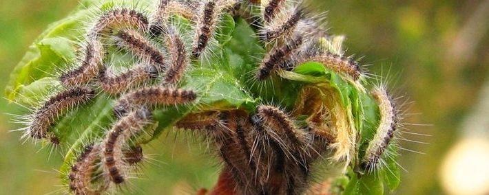 Ast mit Blätter ist übersät mit Larven