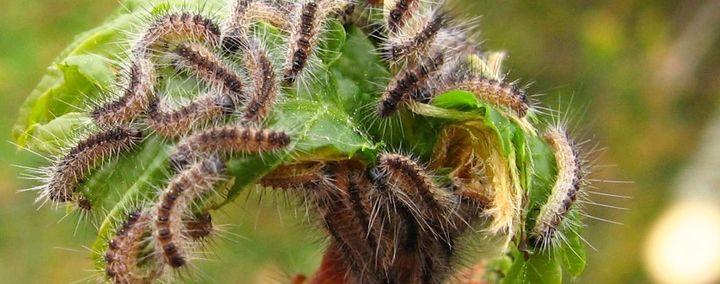 Die giftigen Raupen des Eichenprozessionsspinners