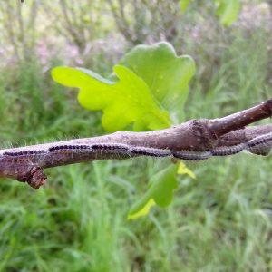 Raupen mit langen weißen Haaren laufen hintereinander über einen Ast
