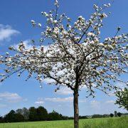 Blühender kleiner Obstbaum