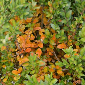 Buchs mit orange verfärbten Blättern