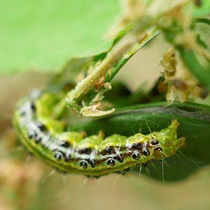 Raupe Buchsbaumzünsler grün mit schwarzen Punkten und Streifen