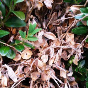 Braune tote Blätter des Buchsbaumes