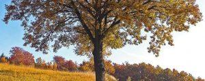 Eiche auf einem Feld im Herbst