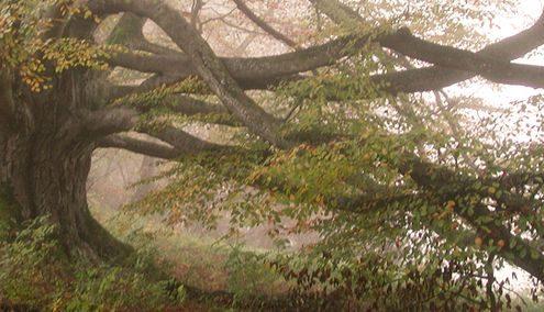 Alte knochige Buche im vernebelten Herbstwald
