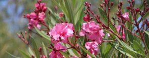 Rosa Oleander Blüten