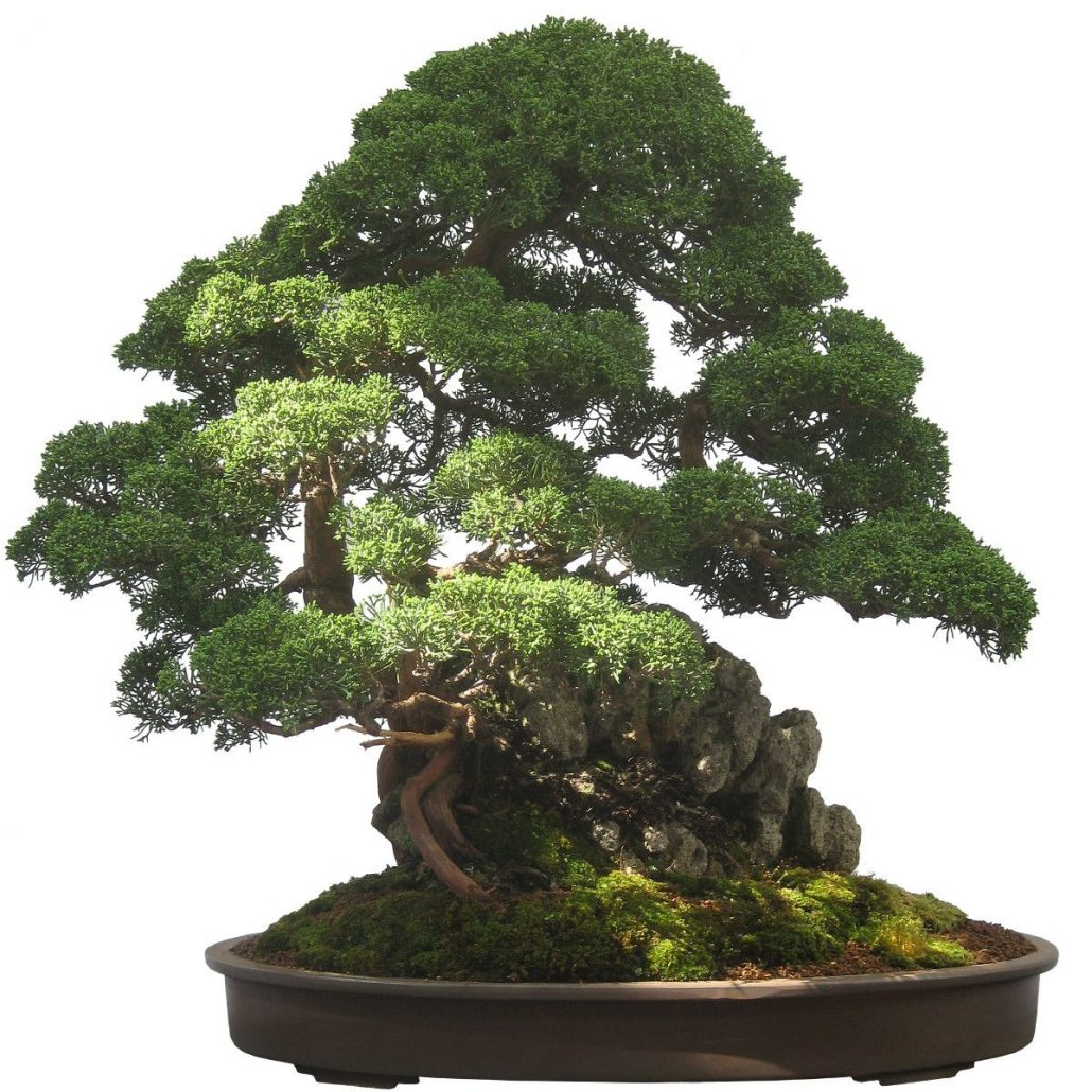 bonsai baum orme du japon ulmus japonica bonsai pictures. Black Bedroom Furniture Sets. Home Design Ideas