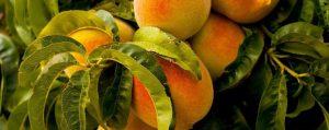 Zweig eines Pfirsichbaumes mit saftigen Früchten