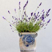 Lavendel mit blauen Blüten in einem Steintopf