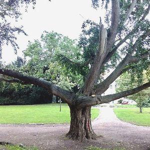 Gingko Baum im park mit ausgebrochener Spitze