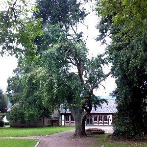 Ginkgo Baum mit ausgebrochener Krone im einem Park