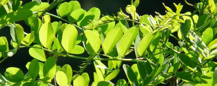 Zweig einer Kugelrobinie mit vielen kleinen Blättern