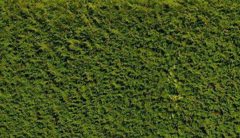 Grüne, sauber geschnittene Lebensbaumhecke