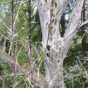 Eingesponnene Äste und Zweige einer Traubenkirsche