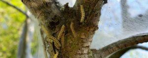 Gelbe, schwarzgepunktete Käfer an einem Baumstamm