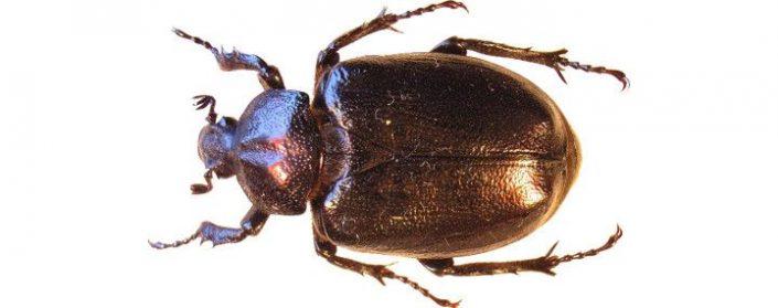 Braunschwarzer Käfer
