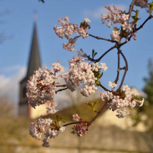Rosa Blüten eines Baumes vor einer Stadtkulisse