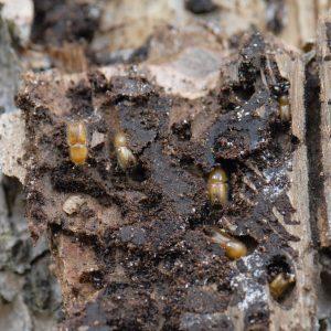 Hellbraune Käfer in kleinen Gängen einer Fichtenrinde