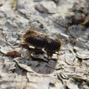 Kleiner schwarzer Borkenkäfer auf Fichtenrinde