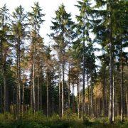 Fichten mit braunen lichten Kronen im Wald